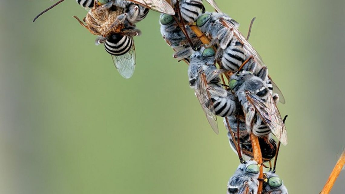 Aux États-Unis, cette vallée aride abrite plus de 500 espèces d'abeilles différentes – National Geographic France