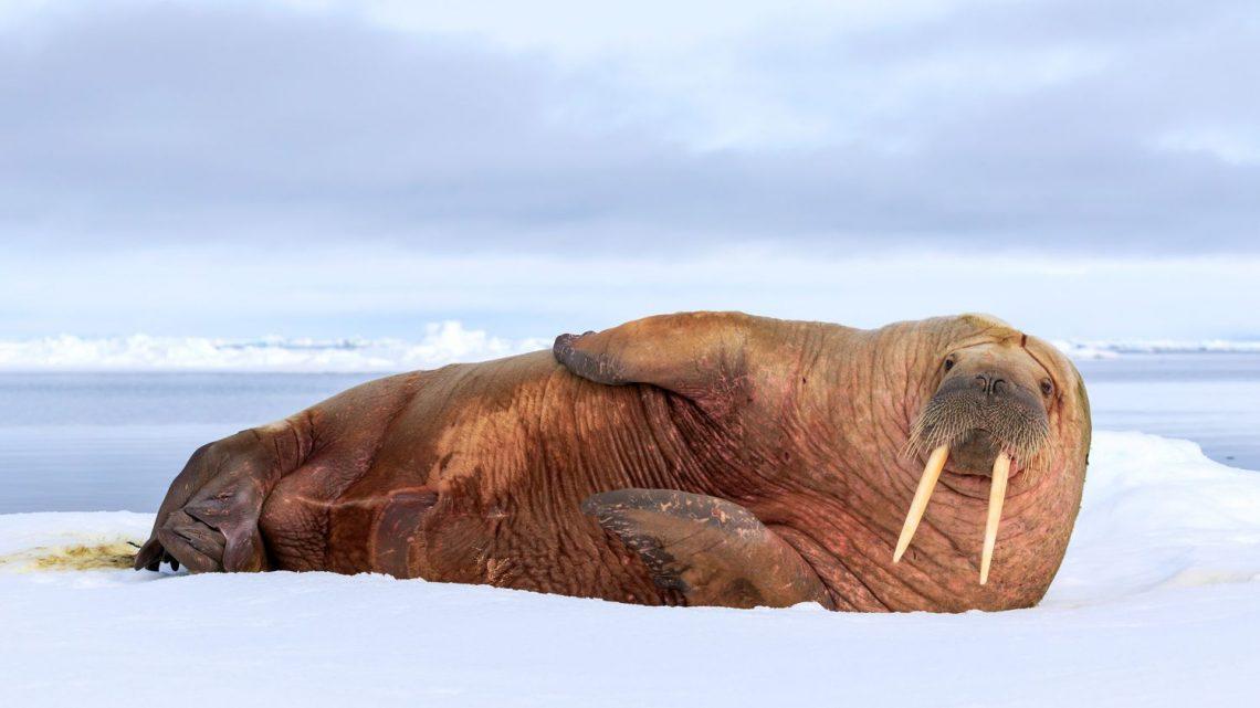 ONG cherche volontaires en télétravail pour compter les morses de l'océan Arctique – Franceinfo